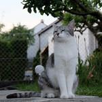 Katze, Edel- thumbnail