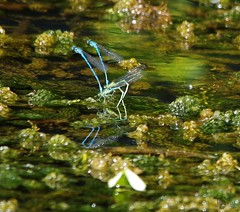 damsel flys on pond (5) (Simon Dell Photography) Tags: damsel flys pond large groups mass lots loads laying eggs green vegitation blue azure common damselflies uk 2017 sheffield shirebrookvalley s12 hackenthorpe stunning sight nature wildlife countryfile springwatch simon dell photography photo pics