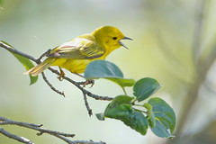 _53F8346 Vocalizing Yellow Warbler (male) (~ Michaela Sagatova ~) Tags: birdphotography canonphotography michaelasagatova warbler yellowwarbler