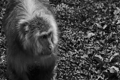 (grundi1) Tags: sony alpha 68 ilca68 a68 kärnten carinthia landskron sigma1770f2845dcmacro black white schwarz weis japanmakaken macaca fuscata japanese macaque snow monkey