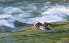 Munich - Fast Duck (cnmark) Tags: germany deutschland bavaria bayern münchen munich duck ente flying isar river fast action movement motion flaucher ©allrightsreserved