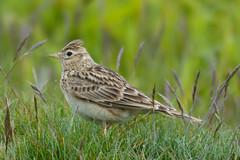 Sky Lark (James Oliver Lewis) Tags: skylark sky lark portlandbill portland bill dorset nikon d3200 nature wildlife bird