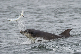 Moray Firth Dolphin with Salmon