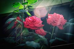 "Summer is here (pillarsoflight) Tags: portland pdx oregon city pnw beauty apsc ""crop sensor"" nikon d3300 35mm aperture prime lightroom adobe shotonsandisk sandisk apple imac pacificnorthwest nik colorefex red green flowers flare sun summer light hot heat windy roses flower"
