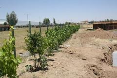 Sunflowers (Jiyan Foundation) Tags: jiyan foundation humanrights chamchamal iraq irak garden therapy psychotherapy rehabilitation sunflowers sonnenblumen healinggarden kurdistan