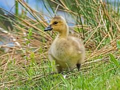 Along the Lake (jimgspokane) Tags: goslins geese birds wildlife idahostate moosecreekreservoir irds wildbirds otw