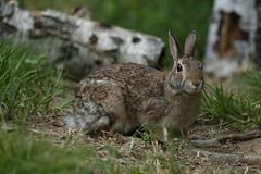 Ciao !     :)) (carlo612001) Tags: coniglio lepre rabbit