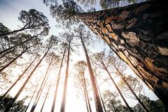 High in the sky (Aadilsphotography) Tags: trees wide angle canon 6d fadils pakistan margalla hills kotli satian aadils islamabad punjab nature landscape low adobe lightroom filters 14mm sky sun