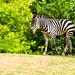 A child of a zebra : シマウマの子供