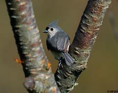 """Tufted Titmouse (""""DEB"""") Tags: tuftedtitmouse songbird bird ctbird d500 nikon200500"""