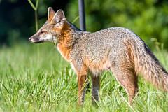 The Gray Fox (Rich[FL]) Tags: nature carnivora mammals grayfox canidae ucinereoargenteus urocyon animals greyfox treeclimbing wildlife