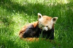 P2090318 Kleiner Panda
