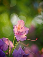 2017-06-06_21-04-02 (torstenbehrens) Tags: flower nature bokeh olympus epm1 digital camera