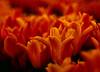(bluechromis1) Tags: woodenshoetulipfestival2017 velvia film e6 meyergorlitzdiaplan100mmf28 canonf1n woodburnoregon tulip flower red orange color spring bokeh bokehwhores slide botanical dop depthoffield projectorlens
