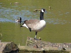 Balancing act (Lexie's Mum) Tags: walks walking coombecountrypark coombe coombeabbey warwickshire nature spring bird birds wildlife wildfowl waterfowl