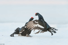 Discussion (Nedko Nedkov) Tags: birkhahn boreal finland wildlife winter black grouse bird mating