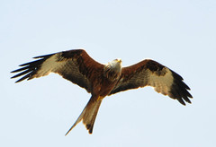 DSC_8286 (PeaTJay) Tags: nikond300s tamron reading lowerearley berkshire outdoors nature birds birdsofprey redkite
