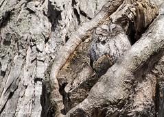 Eastern Screech Owl 1 (martinaschneider) Tags: easternscreechowl owl raptor bird birdsofprey birdofprey greymorph trees