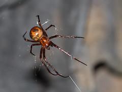 Meta menardi (Cave spider)