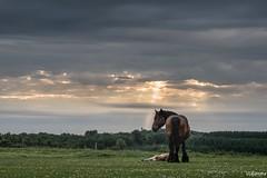 11062017-DSC_0093 (vidjanma) Tags: cheval poulain ardennais soir