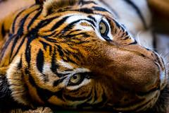 Cats eyes (JPJ Photo) Tags: sony a7 70200 fe f4 tiger eyes orange black white animal wildlife beauty cat pussy