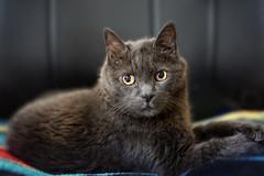 20/52❤ (clo dallas) Tags: teo cat feline myhome indoors pet animaledomestico gatto nature beautifuleyes sony 55mm portrait ritratto inexplore