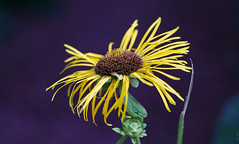 RUS58093(Flower of Mature Age. Inula) (rusTsky) Tags: flower flowers blossom nature outdoor garden close yellow inula canon bokeh summer age ef100mm