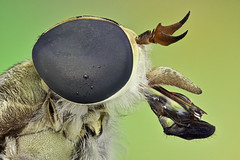 2017-06-20-09.07.58_HORSEFLY (PressnHold) Tags: horsefly fly flies insect animal macro stack stacking stacked catchsoul closeup saigon vietnam componon compound eyes head