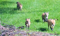 DSC_0758 (rachidH) Tags: fox renard vulpes foxcub renardeau redfox renardroux vulpesvulpes backyard frontyard wildlife sparta newjersey nj rachidh nature