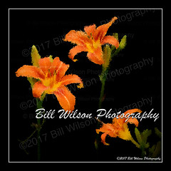 Impressionist Lilies (billwilsonphoto) Tags: fineartphotography fineartprints fineartphotographs photoart lilies
