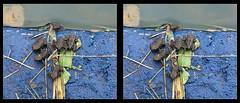 Fowler's Toad Baby Nursery 1 - Crosseye 3D (DarkOnus) Tags: fowlers toad baby tadpole pennsylvania bucks county huawei mate 8 3d stereogram stereography stereo darkonus closeup macro photo border animal cell phone toads bufo fowleri crossview crosseye