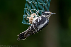 Hairy Woodpecker (Bob Gilley) Tags: hairy woodpecker chesapeakecity maryland