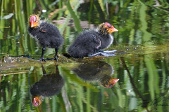 Coot juveniles (Happy snappy nature) Tags: cootjuveniles notsocute nature wildlife bird sunnyday shropshire outdoors water reflections