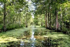 Amazing bayou (erichudson78) Tags: usa louisiana houma bayou eau water arbre tree canoneos5d canonef24105mmf4lisusm nature landscape paysage reflets reflection wow forest forêt