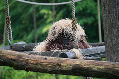 DSC00530 (sylviagreve) Tags: 2017 apenheul orangutan apeldoorn gelderland netherlands nl