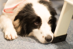 20170521_194010.jpg (ch.90) Tags: dog border collie animal bordercollie