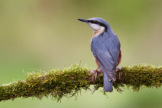 Nuthatch Perched