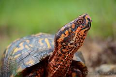 Ornate Box Turtle (K.Yemenjian Photography) Tags: turtle animal southeast southern colorful colors pose poses posing animalplanet details depthoffield natural beautyofnature georgia wet cute cutest hot help