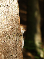 P1017832 (ajh_1990) Tags: rushmere stockgrove tree squirrel vertical verticality