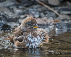 Fox Sparrow 20170410_2092 (GORGEous nature) Tags: foxsparrow hoodriverco multnomahco oregon passerellailiaca passerine sparrows spring vertebrates vientostatepark bathing bird crgnsa water april ©johndavis