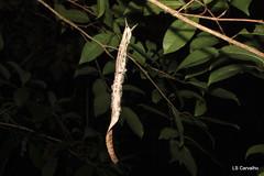 Senoculidae, Senoculus sp. (aracnologo) Tags: arachnida arachnid aracnídeo aranha araneae araña cantá roraima senoculidae senoculus amazonbiome amazônia amazon amazonia
