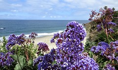 View from the Bluff (Bennilover) Tags: bluff flowers purple pacific california lagunabeach montage statice flower