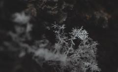 Fat flakes (Яна Андреева) Tags: frozen ice macro macrophotography closeup closeupphotography frozenplant plant icyplant winter cold icecold snow snowflake snowflakephotography icephotography beauty beautiful beautyofnature wintercold
