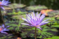 Fleur de Nénuphar (◄Laurent Moulin photographie►) Tags: fleur de nenuphar parc la tete d or lyon serre lotus color couleur tropicale