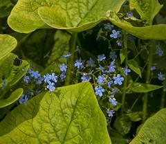 Under umbrella (Varvara_R) Tags: nature flower flowers blue forgetmenot forest tiny green macro