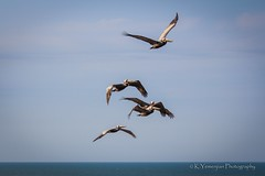 Brown Pelicans (K.Yemenjian Photography) Tags: brownpelican pelican birds fly beach ocean atlanticocean water bluesky clearsky beautyofnature lovely cute racing