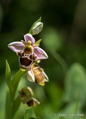 Look what I found in my garden! (Ivan van Nek) Tags: ophrys orchidaceae orchid france frankrijk hautegaronne anan midipyrénées languedocroussillonmidipyrénées occitanie 31 nikon nikond7200 d7200 wildflowers