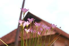 Flowers (Madhu Muraleedharan) Tags: flower madhumuraleedharan madhu padmanabhapuram trivandrum