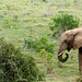 Elephant standing and eating grass