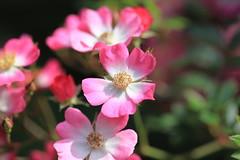 Flowers / 花(はな) (TANAKA Juuyoh (田中十洋)) Tags: 5d markii hi high res hires resolution 高精細 高画質 shizuoka atami akao herb rose garden 静岡 熱海 しずおか あたみ flower blossom 花 pink ピンク 桃色 ももいろ